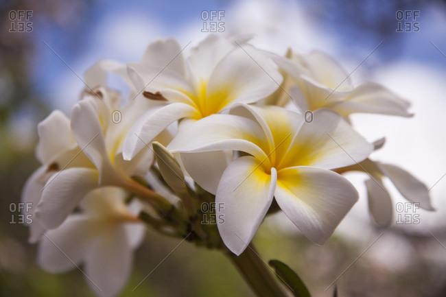 USA, Hawaii, Maui, Kapalua colorful plumeria blooms