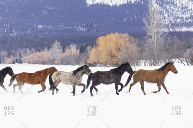 Rodeo horses running during winter roundup, Kalispell, Montana.