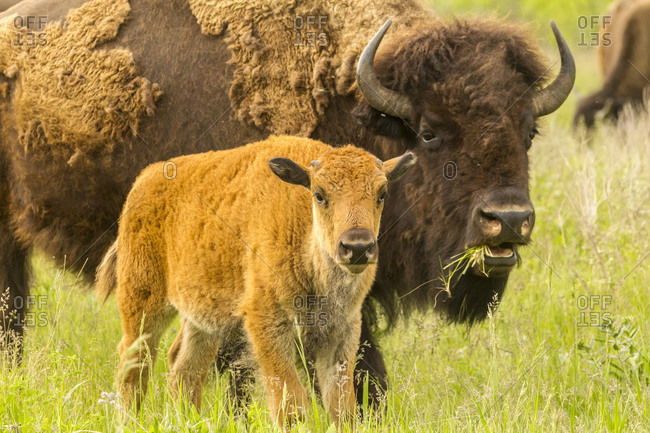 USA, South Dakota, Custer State Park. Bison parent and calf in meadow.