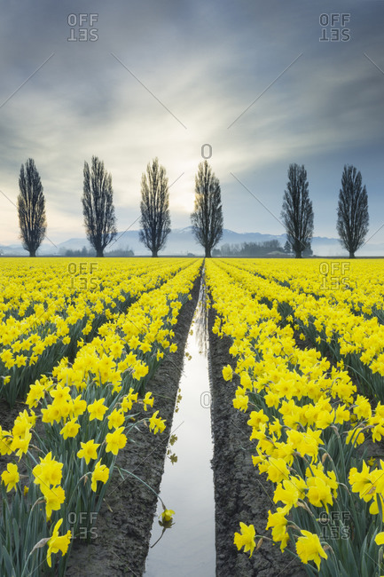 Fields of yellow daffodils in late March, Skagit Valley, Washington State