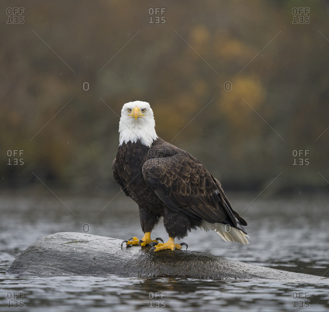 USA, Washington State. Bald Eagle (Haliaeetus leucocephalus) perched on log in Lake Washington, Kenmore.