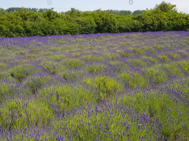 WA, Olympic Peninsula, Lavender field