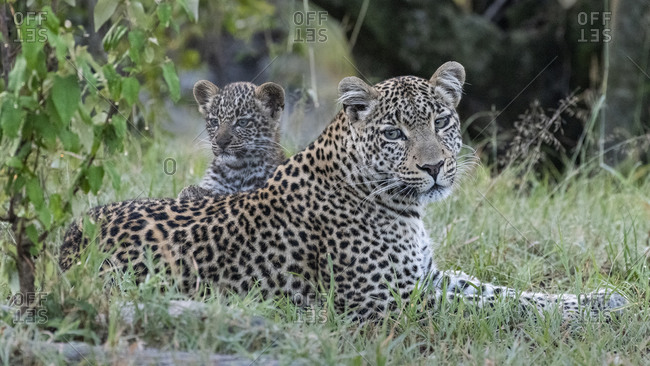 Africa, Kenya, Maasai Mara National Reserve. Close-up of leopard mother and cub.