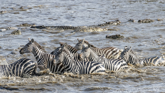 Africa, Kenya, Maasai Mara National Reserve. Nile crocodiles attacking zebras crossing Mara River.