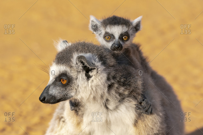 Africa, Madagascar, Anosy, Berenty Reserve. Ring-tailed lemur, Lemur catta. Portrait of a female and baby.