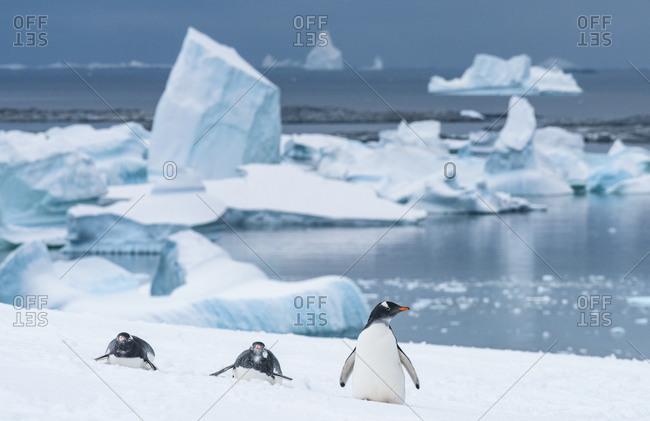 Gentoo penguin, Pygoscelis papua, iceberg. Antarctica, Antarctic Peninsula, Pleneau Bay, Booth Island.