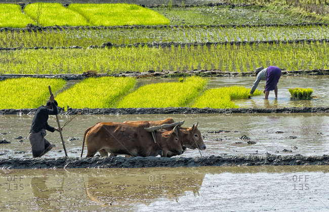 Farmers planting rice seedlings and plowing with cow in the rice paddy, Rangamati, Chittagong Division, Bangladesh