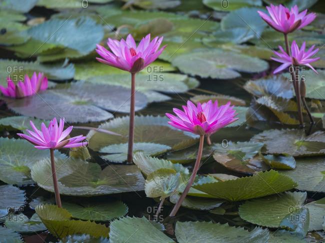 Vietnam, Mui Ne. Pink water lilies.