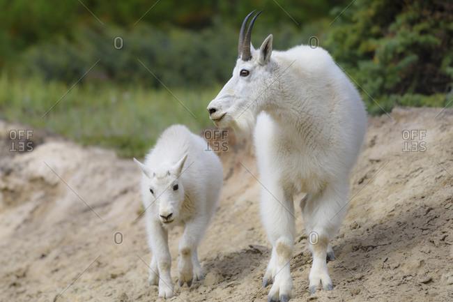 Canada, Alberta, Jasper National Park. Mountain goat buck and kid.