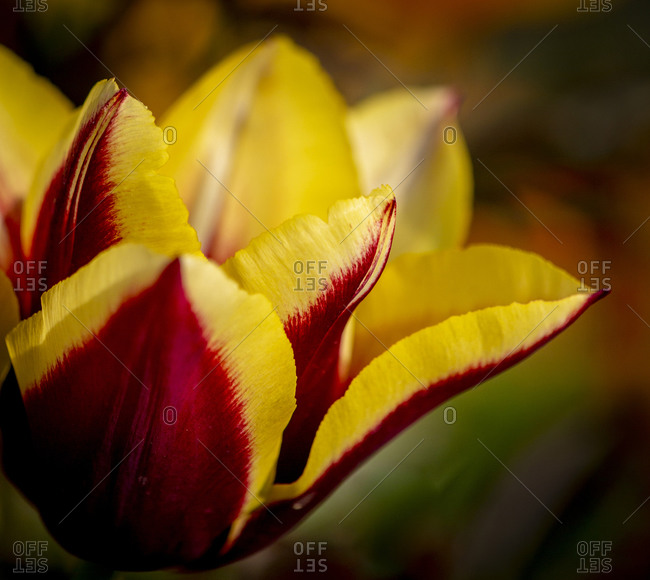 France, Giverny. Close-up orange and yellow tulip petals.