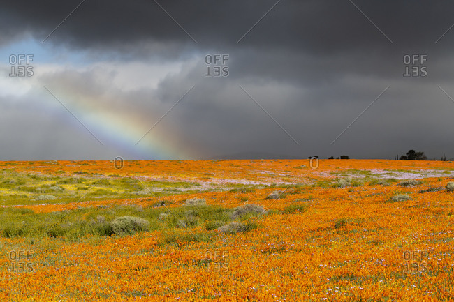 USA, California. Fields of California Poppy, Goldfields with clouds and rainbow, Antelope Valley, California Poppy Reserve.
