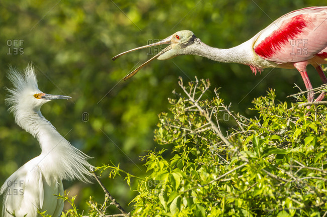 USA, Florida, Anastasia Island, Alligator Farm. Great egret and roseate spoonbill having a fight.