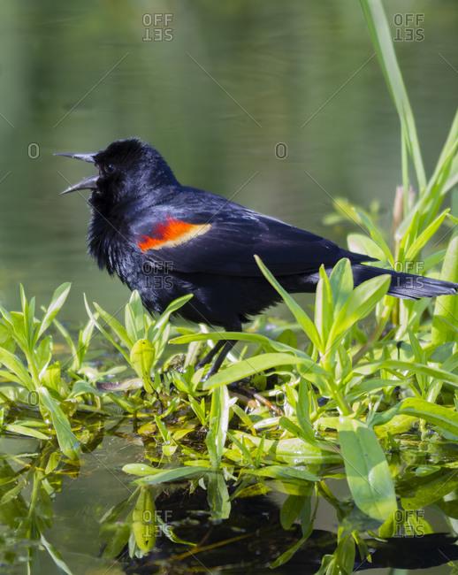 WA, Juanita Bay Wetland, Red-winged Blackbird, male (Agelaius phoeniceus)