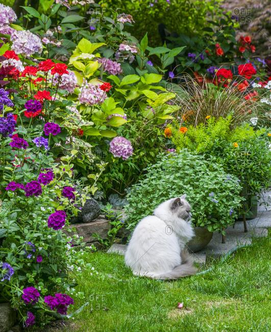 USA, Washington State, Sammamish, Northwest garden in full bloom with Rag Doll Cat
