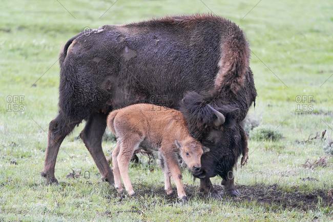 Yellowstone National Park, Lamar Valley. American bison calf stays close to its mother.