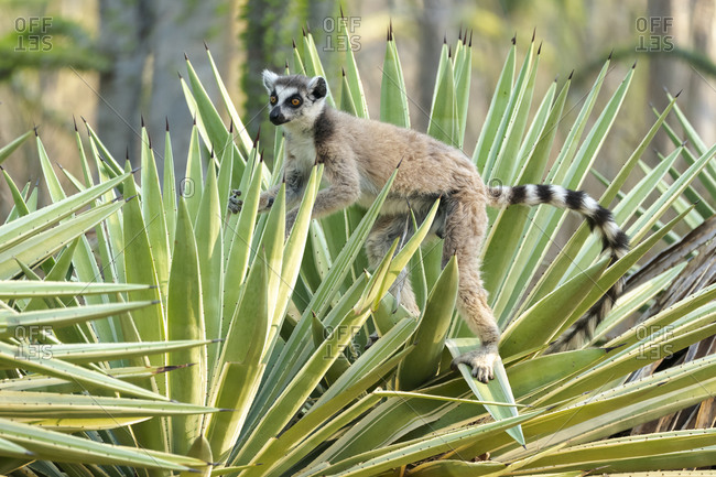 Africa, Madagascar, Anosy, Berenty Reserve. A ring-tailed lemur carefully maneuvering between the sharp spikes of the sisal plant.