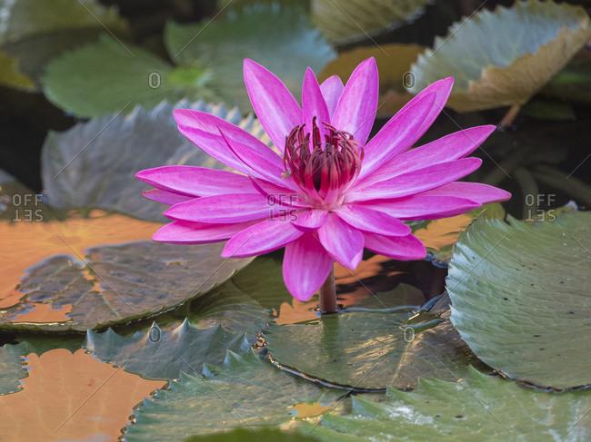 Vietnam, Mui Ne. Pink water lily.