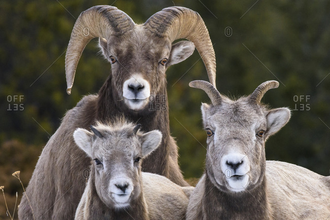 Canada, Alberta, Jasper. Bighorn sheep ram with juveniles.