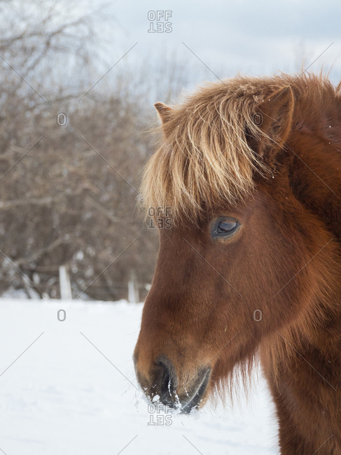 Icelandic Horse in fresh snow. Traditional breed for Iceland and traces its origin back to the horses of the old Vikings, Iceland.