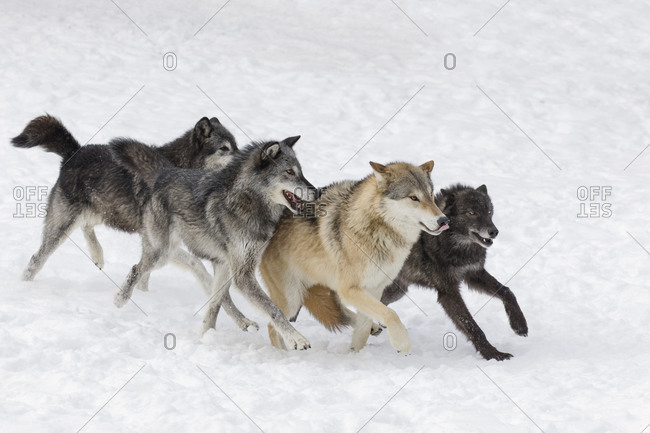 Tundra wolves exhibiting dominance behavior in pack setting in winter, Montana.