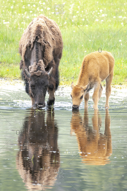 Yellowstone National Park, Lamar Valley. American bison calf stays close to last year's calf while exploring a pond.