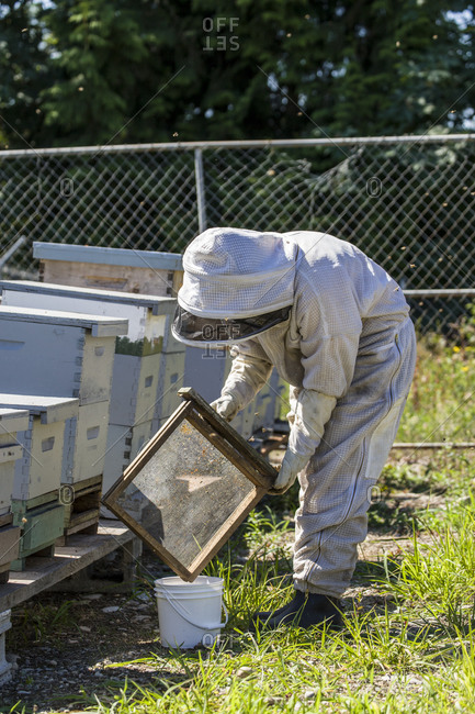 July 16, 2013: Maple Valley, Washington State, USA. Female beekeeper emptying a pollen trap into a bucket