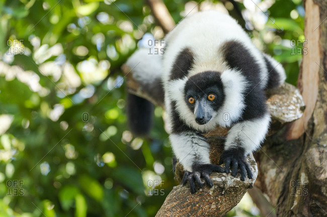 Africa, Madagascar, Lake Ampitabe, Akanin'ny nofy Reserve. A black-and-white ruffed lemur is curious and watching everything.