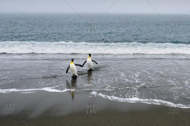 Salisbury Plain, South Georgia Island. King penguins arriving from the sea.