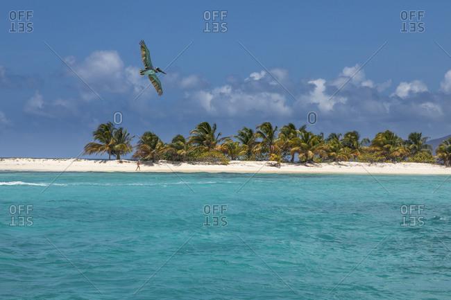Caribbean, Grenada, Sandy Island. Pelican flies over ocean shore.