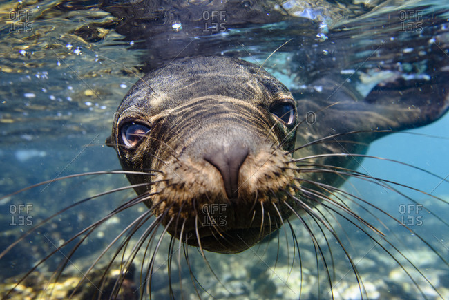 Ecuador, Galapagos Islands, Santa Fe Island. Galapagos sea lion swims in close to the camera.