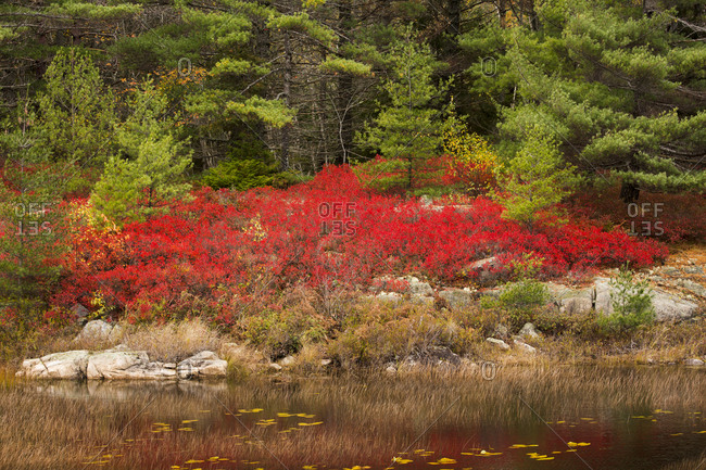 USA, Maine. Red blueberry bushes in Acadia National Park.