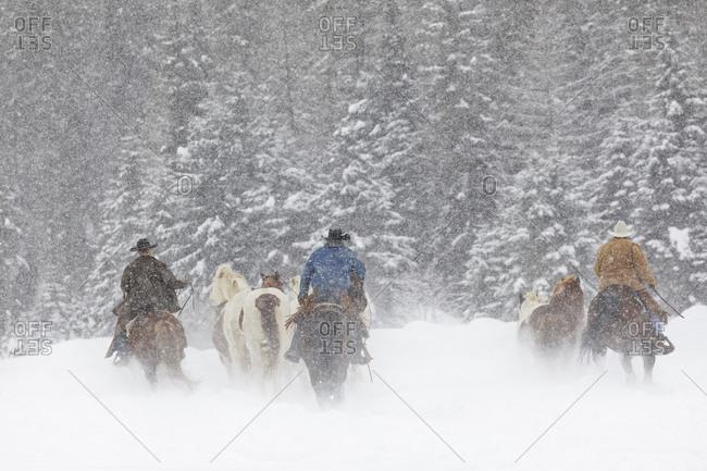 Cowboys during winter roundup, Kalispell, Montana.