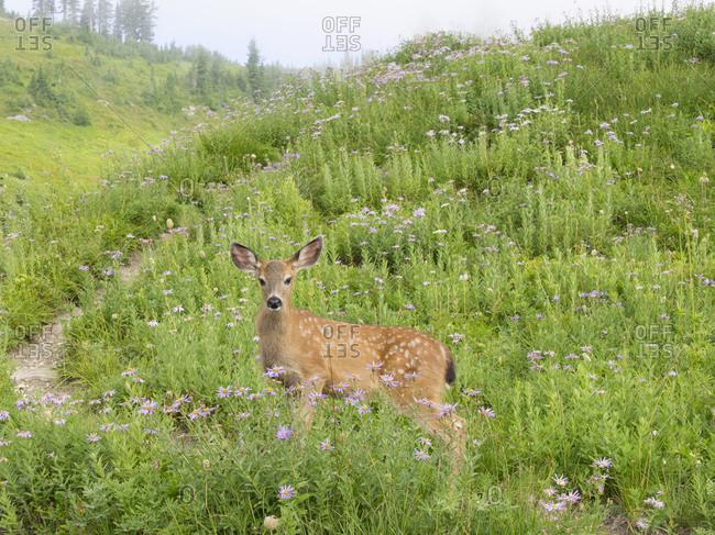 WA, Mount Rainier National Park, Black-tailed deer, fawn, Odocoileus hemionus