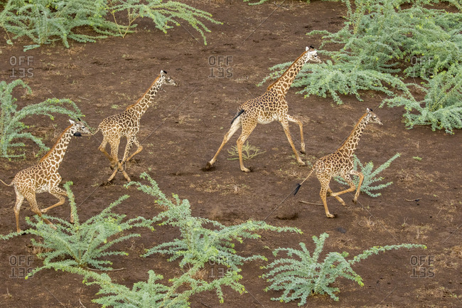 Africa, Kenya, Shompole, Aerial view herd of Giraffes (Giraffa camelopardalis) running in Shompole Conservancy in Rift Valley