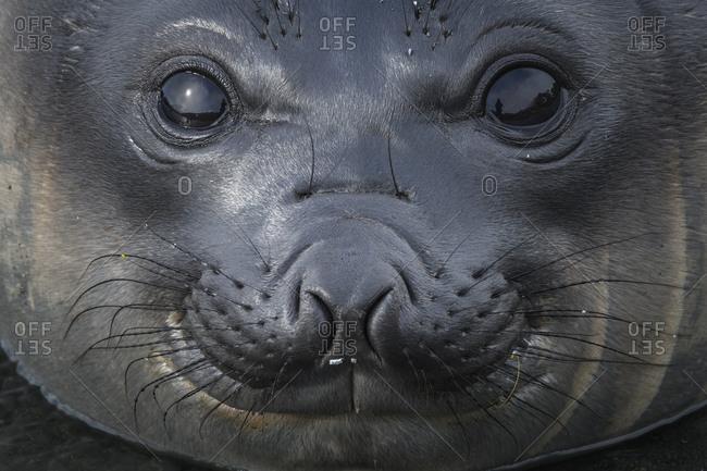 South Georgia Island, Gold Harbour. Elephant seal pup.