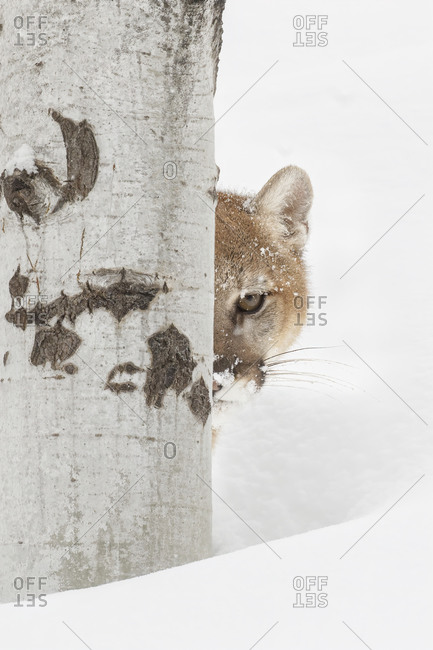 Mountain lion or cougar looking around tree.