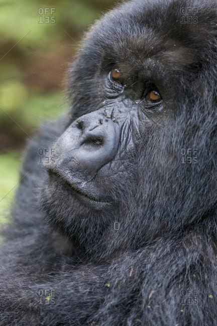 Africa, Rwanda, Volcanoes National Park, Portrait of Mountain Gorilla (Gorilla beringei beringei) resting in rainforest in Virunga Mountains