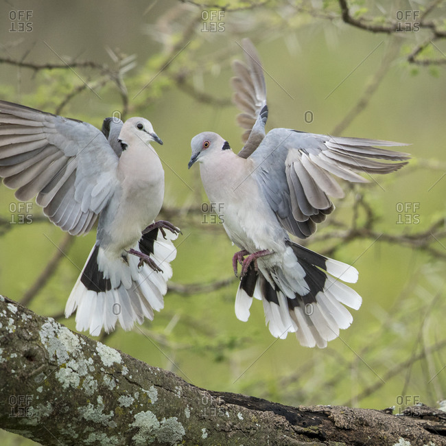 Africa, Tanzania, Ngorongoro Conservation Area, African Mourning Doves (Streptopelia decipiens) flap wings during courtship display in acacia tree on Ndutu Plains