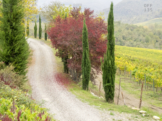Europe, Italy, Chianti. Gravel road winding through a vineyard in autumn in the Chianti region of Tuscany.