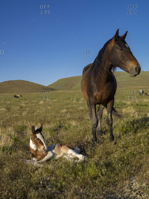 Wild horse mother shows off her yearling foal, Pony express byway near Salt Lake City and Dugway, Utah, USA.