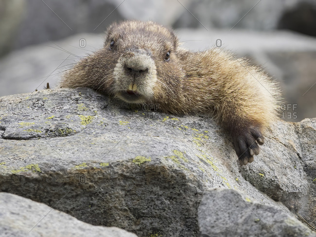 WA, Mount Rainier National Park, Hoary Marmot (Marmota caligata)