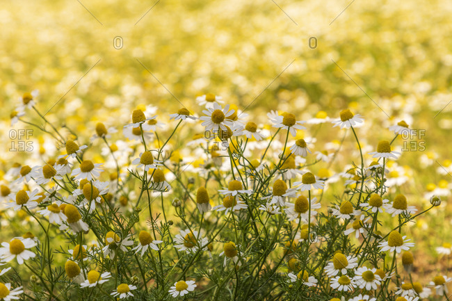 Field of chamomile. view of landscape