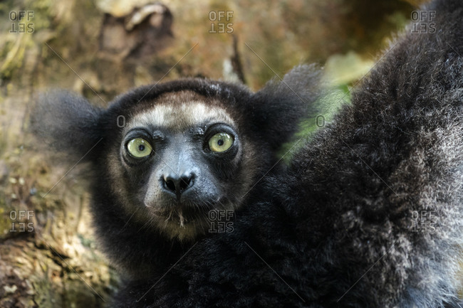 Africa, Madagascar, Lake Ampitabe, Akanin'ny nofy Reserve. Headshot of the largest lemur.