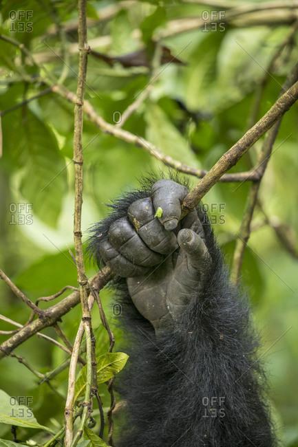 Africa, Rwanda, Volcanoes National Park, Close-up of Mountain Gorilla's hand (Gorilla beringei beringei) gripping vines in rainforest in Virunga Mountains