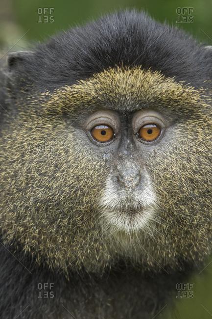 Africa, Rwanda, Volcanoes National Park, Close-up portrait of Golden Monkey (Cercopithecus kandti) in rainforest in Virunga Mountains