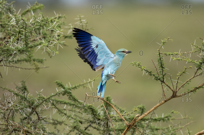 Africa, Tanzania, Ngorongoro Conservation Area, European Roller (Coracias garrulus) spreading wings during takeoff on Ndudu Plains