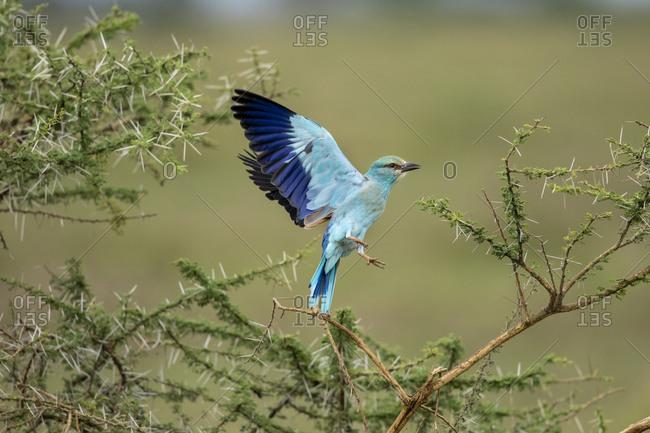 Africa, Tanzania, Ngorongoro Conservation Area, European Roller (Coracias garrulus) spreading wings during takeoff on Ndudu Plains