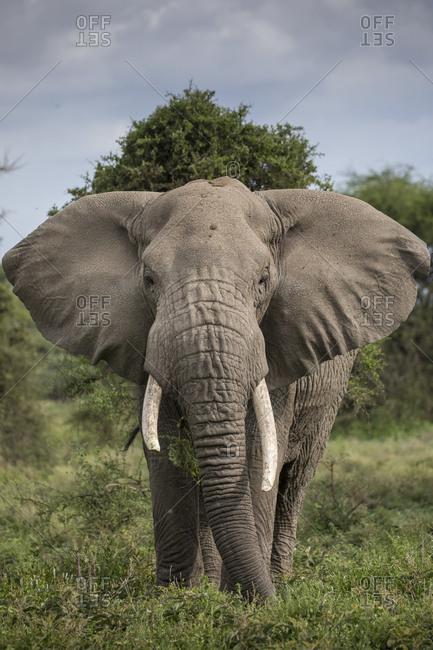 Africa, Tanzania, Ngorongoro Conservation Area, Bull Elephant (Loxodonta africana) while feeding on thorned bushes on Ndutu Plains at start of rainy season