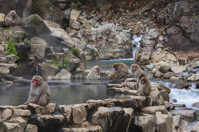 Japanese snow monkeys, macaques, sitting around the hot springs of Jigokudani Park