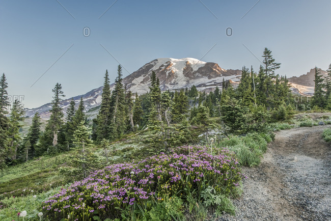 Washington State, Mt. Rainier National Park, Heather Blooming on the Skyline Trail at dawn